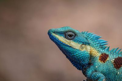 Blaukopf Calotes (M) / Blue-crested lizard - Indo-Chinese bloodsucker - Indo-Chinese forest lizard - White-lipped calotes - Blue forest lizard