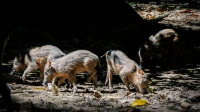 Bartschwein (Sus barbatus) Bornean Bearded Pig / VULNERABLE