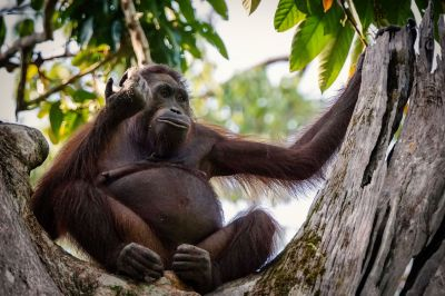 Borneo-Orang-Utan / CRITICALLY ENDANGERED