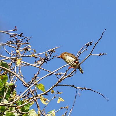 Braunbartvogel / Brown Barbet