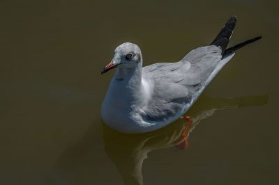 Braunkopfmöwe / Brown-headed Gull