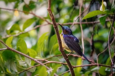 Braunkehl-Nektarvogel / Brown-throated Sunbird - Plain-throated Sunbird