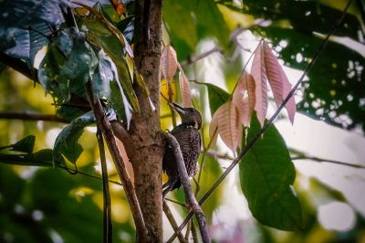 Tukkispecht (W) / Buff-necked Woodpecker