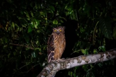 Sunda-Fischuhu / Buffy Fish-owl