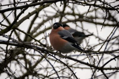 Gimpel - Dompfaff (M) / Bullfinch - Eurasian Bullfinch - Common Bullfinch