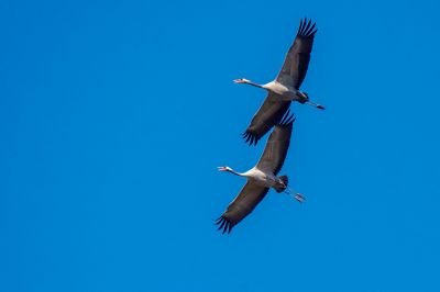Kranich / Common Crane