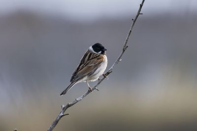 Rohrammer (M) im Prachtkleid / Common Reed Bunting