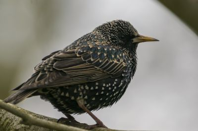Star / Common Starling