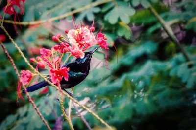 Kupferkehl-Nektarvogel (M) / Copper-throated Sunbird