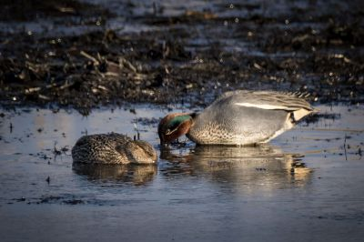 Krickente (M,F) / Eurasian Teal - Common Teal