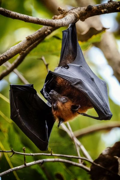 Flughund (Pteropus) / Flying Fox - Fruit Bat - Megabat