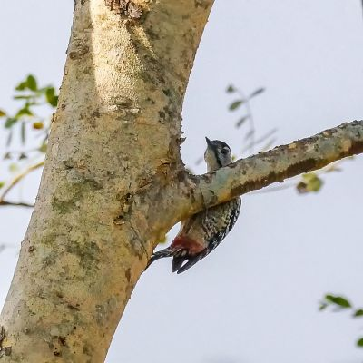 Isabellbrustspecht (W) / Fulvous-breasted Woodpecker