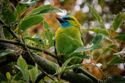 Prachtbartvogel / Golden-naped Barbet
