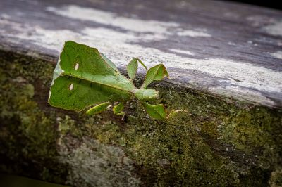 Gray's Leaf Insect / kurzer Video-Clip