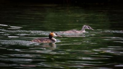 Haubentaucher (adult & juvenile) / Great Crested Grebe