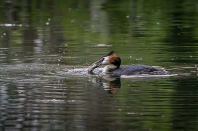Haubentaucher / Great Crested Grebe