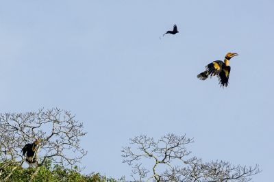 Doppelhornvogel / Great Hornbill