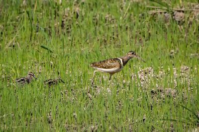Bunt-Goldschnepfe (M&J) - Goldschnepfe - Buntschnepfe / Greater painted-snipe