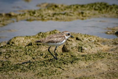 Wüstenregenpfeifer / Greater Sandplover