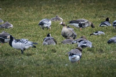 Blässgans / Greater White Fronted Goose