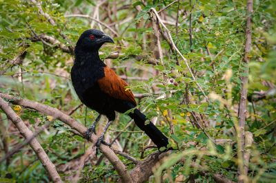 Heckenkukuck / Greater Coucal