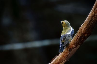 Narzissenschnäpper-elisae / Green-backed Flycatcher