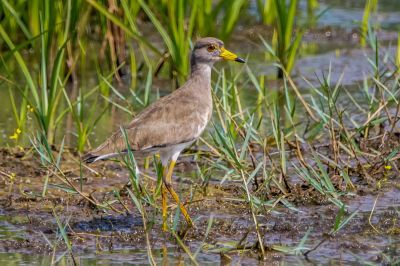 Graukopfkiebitz / Grey-headed Lapwing