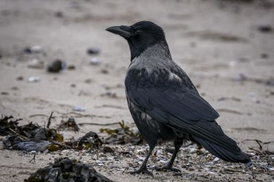 Nebelkrähe / Hooded Crow