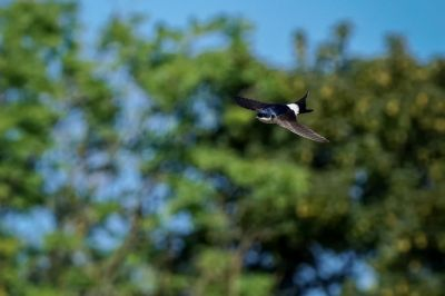 Mehlschwalbe / House Martin - Northern House Martin - Common House Martin