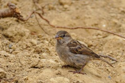 Haussperling (F) / House Sparrow