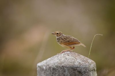 Indochinalerche / Indochinese Bushlark
