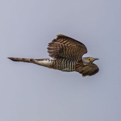 Sperberkuckuck / Large Hawk-Cuckoo