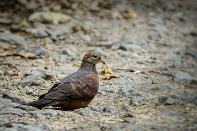 Kleine Kuckuckstaube (W) / Little Cuckoo-dove