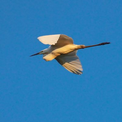 Seidenreiher / Little Egret