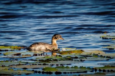 Zwergtaucher (J) / Little Grebe