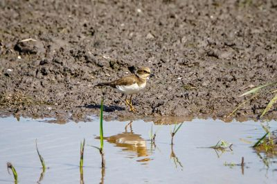 Flußregenpfeifer / Little Ringed Plover
