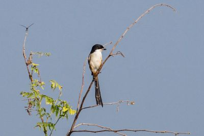 Schachwürger / Long-tailed Shrike