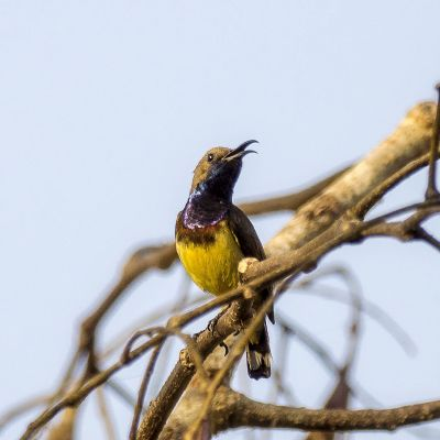 Grünrücken-Nektarvogel (M) / Olive-backed Sunbird