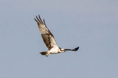 Fischadler / Osprey - Fish Eagle - Fish Hawk