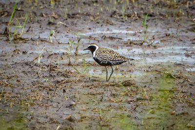Pazifischer Goldregenpfeifer - Sibirischer Goldregenpfeifer / Pacific Golden Plover