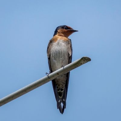 Südseeschwalbe / Pacific Swallow