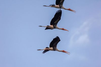 Buntstorch / Painted Stork