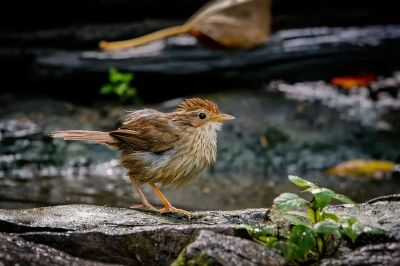 Streifenbrust-Erdtimalie / Puff-throated Babbler