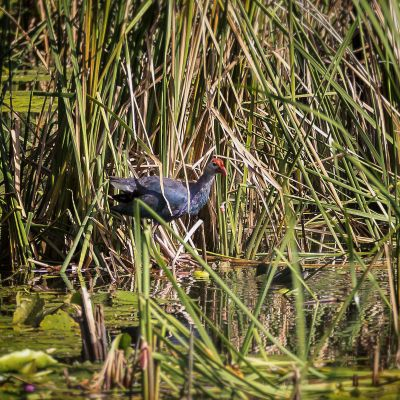 Purpurhuhn / Purple Swamphen