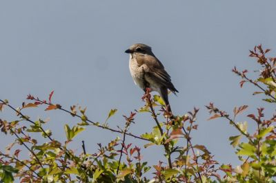Neuntöter - Rotrückenwürger (F) / Red Backed Shrike