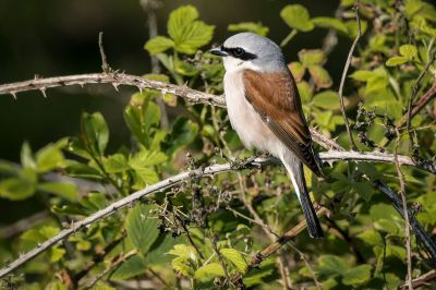 Neuntöter - Rotrückenwürger (M) / Red Backed Shrike