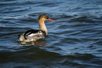 Mittelsäger (M, Immature) / Red Breasted Merganser