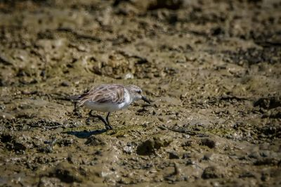 Rotkehl-Strandläufer / Red-necked Stint