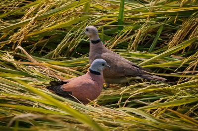 Weinrote Halsringtaube - Zwerglachtaube (M&W) / Red Turtle-dove - Red Collared Dove