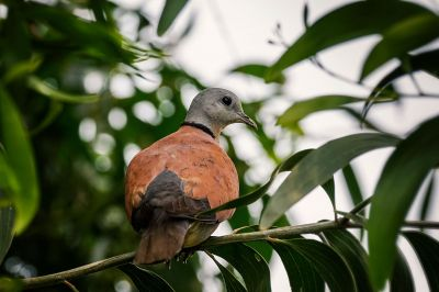 Weinrote Halsringtaube - Zwerglachtaube (M) / Red Turtle-dove - Red Collared Dove